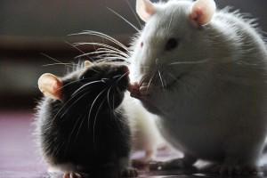 rats1 (1)