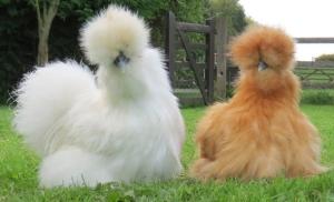 silkie-chickens--30013